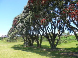 Pohutukawa trees on Marae site. As protected trees, these will be preserved during marae construction.
