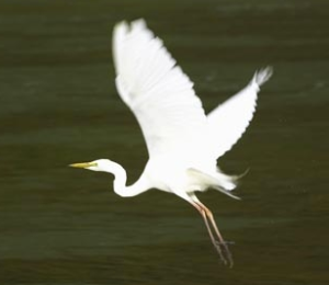 The Kotuku, or White Heron, symbol of Sesquicentenary Year 1990.